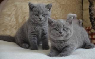 440 кличек для кота британца и кошки британки (по полу, по окрасам)
