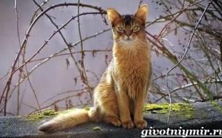 Сомалийская кошка: фото кошки, цена, описание породы, характер, видео, питомники