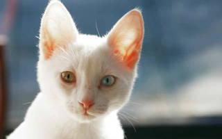 Энтерит у кошек: признаки и лечение заболевания, в том числе у котят, меры профилактики