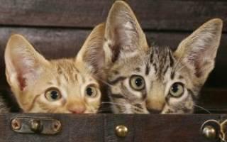 Кошка оцикет (ocicat): описание внешности и характера, уход за питомцем и его содержание, выбор котёнка, отзывы владельцев, фото кота