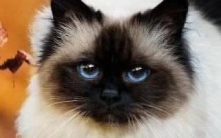 Бирманская кошка: особенности бирмы и фото священного кота, уход за питомцем и его содержание
