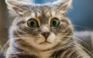 Как успокоить кота или кошку, если животное шипит и чего-то боится