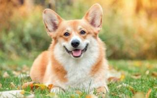 Собаки, похожие на лису — название, фото и описание пород