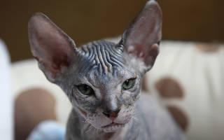 Лысые кошки: список пород с фото, как ухаживать, здоровье, кормление
