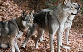 Северная инуитская собака: стандарт породы, внешность инуитов, содержание, здоровье, фото